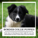 Selecting And Training A Border Collie Puppy Pethelpful By Fellow Animal Lovers And Experts