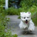 How To Choose A West Highland White Terrier Pethelpful By Fellow Animal Lovers And Experts