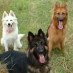 German Shepherd Coat And Color Varieties Pethelpful By Fellow Animal Lovers And Experts