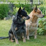 A Guide To Australian Cattle Dog Coat Colors Pethelpful By Fellow Animal Lovers And Experts