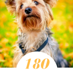 180 Cute Yorkie Names For Your Tiny Terrier Pethelpful By Fellow Animal Lovers And Experts