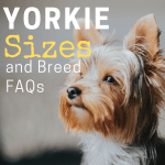 Yorkie Sizes Giant Standard And Teacup Yorkshire Terriers Pethelpful By Fellow Animal Lovers And Experts