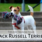 How Not To Train A Jack Russell Terrier Pethelpful By Fellow Animal Lovers And Experts