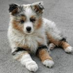 Facts About Australian Shepherds Pethelpful By Fellow Animal Lovers And Experts