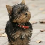 Facts About Teacup Dog Breeds Prospective Buyers Should Know Pethelpful By Fellow Animal Lovers And Experts