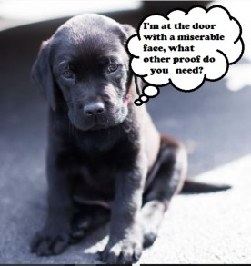 Funny puppy asking to go potty with a miserable face.