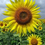 20 Best And Happiest Sunflower Quotes Poems And Sayings Holidappy Celebrations