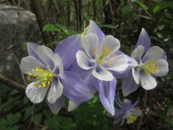 columbine flowers facts and growing tips the spruce - 590×443