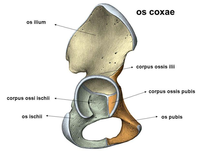 """""""os ischii"""" ile ilgili görsel sonucu"""