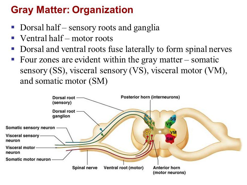 Anterior Root Sensory Or Motor Newmotorspot
