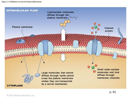 Image result for diffusion across plasma membrane