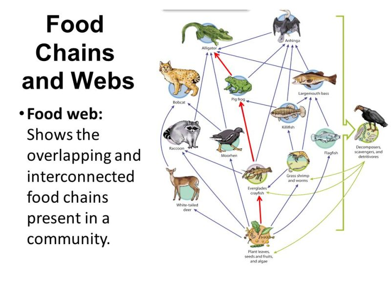 everglades food web diagram Food web diagram joe almonti introduction to life science duyen nguyen october 26, 2012 pic the sun is the primary and originating source of any ecosystem.