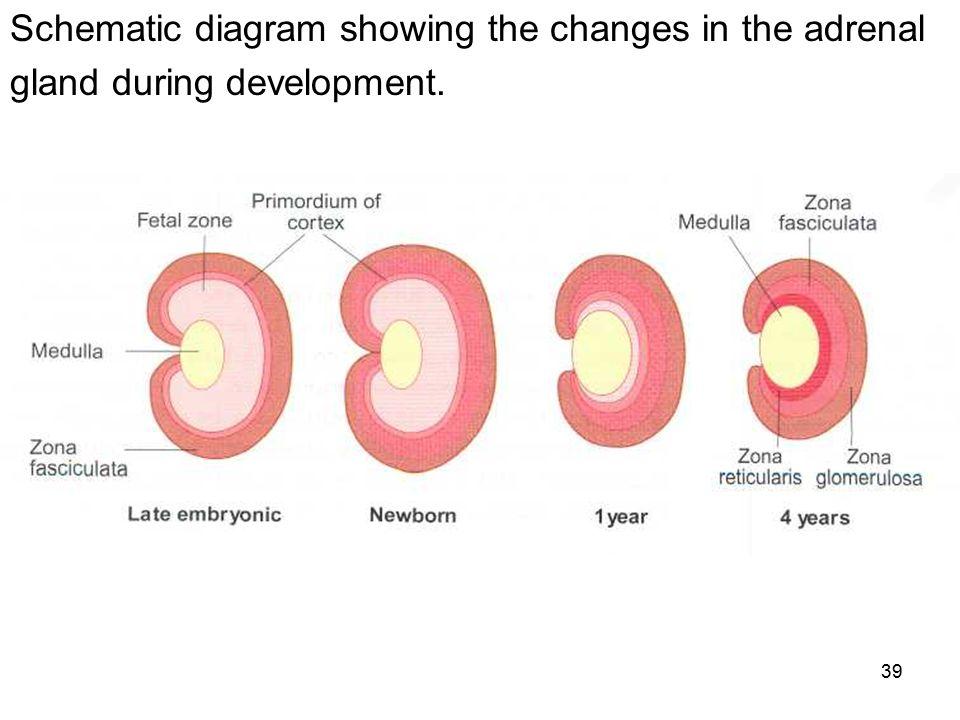 Image result for development of suprarenal gland
