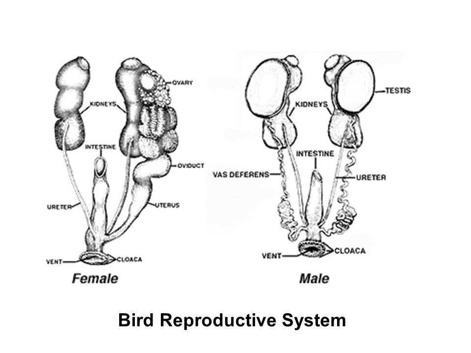 Male Bird Reproductive System - Bing images