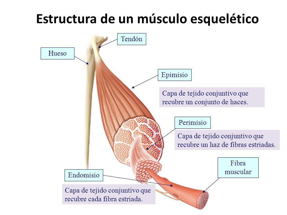 Sistema Esquelético – Muscular | LOCOS POR LA CIENCIA