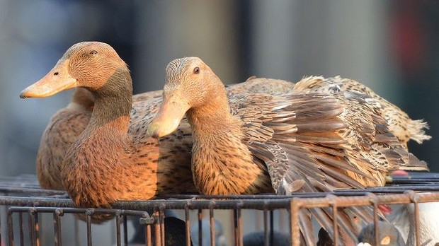 H5N1 confirmed: Culling and strict controls imposed in South Korea after ducks are found to be infected.