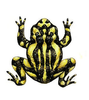 Corroboree frog. (Illustration by Joe Benke.)