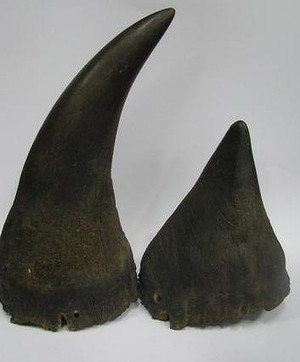 A pair of black rhinoceros horns expected to fetch $70,000 at Lawsons auction on Friday.