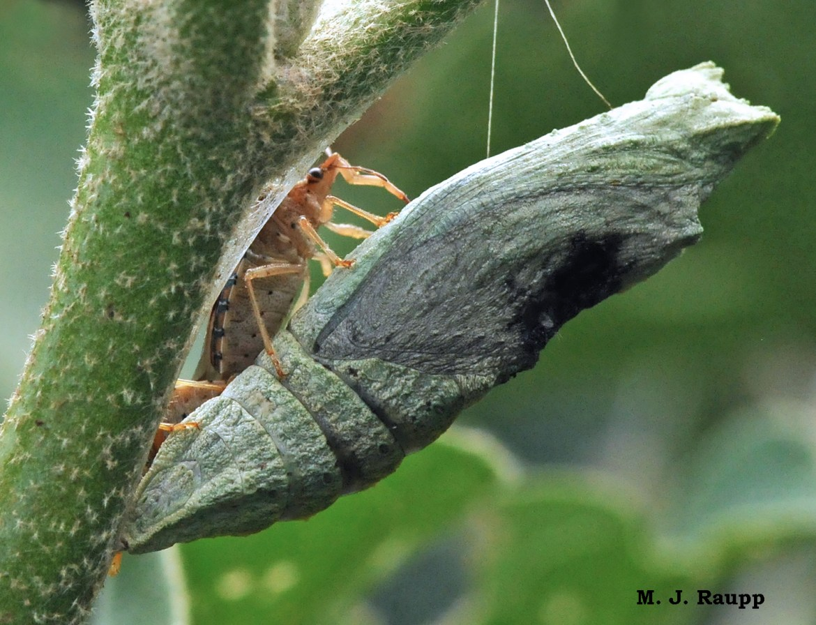 A sneaky soldier bug discovers a butterfly in its most vulnerable stage, the chrysalis.