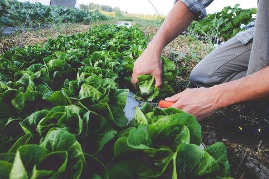 Lettuce harvest_Farm.jpg