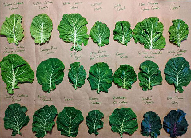 The full-trial site at the Utopian Seed Project in Asheville, North Carolina, prepares collards for taste evaluation.
