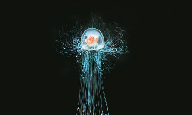 Turritopsis dohrnii, 'the immortal jellyfish' is evidence that conventional aging is not necessarilyinevitable