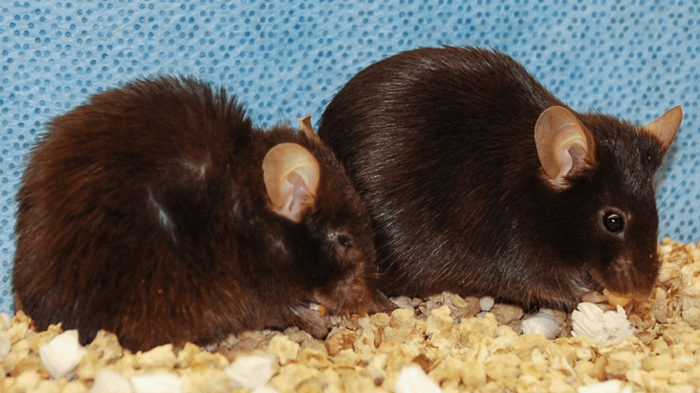 Removal of senescent cells has shown promising results in precious experiments and can prolong health and lifespan in mice. You can see the contrast here in mice of the same age,the mouse on the right has had its senescent cells removed.Credit:Jan van Deursen and Darren Baker