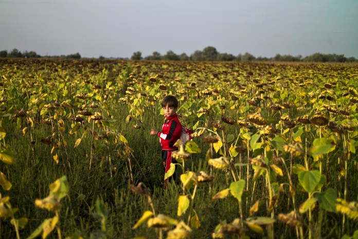 A Syrian refugee boy walks in a sunflower field while he and other migrants wait inside and outside a bus before being taken by Hungarian police to board a train to the Austrian border, in Roszke, southern Hungary, Tuesday, Sept. 15, 2015. (Muhammed Muheisen/AP)