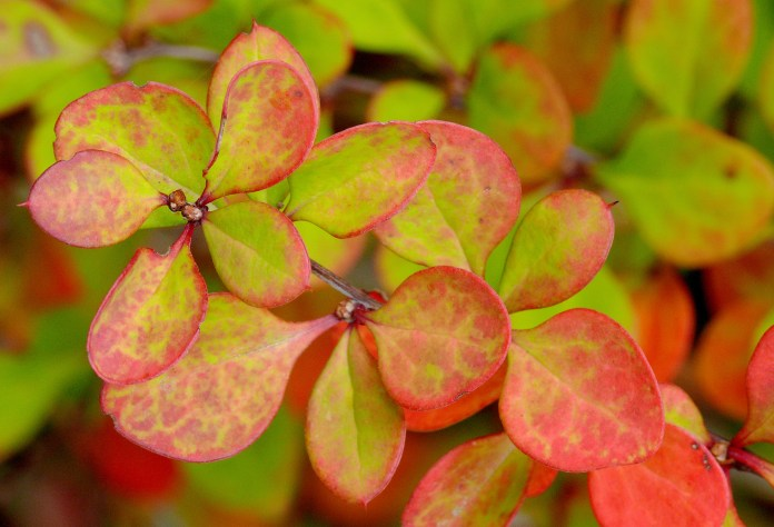 In this photo, a close-up of Japanese barberry bush is pictured. The plant has been recognized as an invasive species in many parts of the eastern United States. (J.G. in S.F./Flickr)