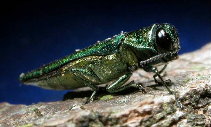 In this photo, an emerald ash borer is pictured.The emerald ash borer, a small green beetle from East Asia that's larvae burrow beneath the bark of ash trees to feed, has been disrupting ecosystems in North America since it first appeared in port cities like Detroit in 2002. (USDAgov/Flickr)