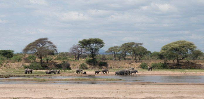 A herd of African elephants gathers around a river to cool off and drink. Elephants travel in herds in order to protect the younger elephants from predators. (Amar Batra/Daily Campus)