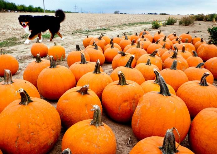 A dog takes a look at pumpkins on an field near Frankfurt, Germany, Thursday, Sept.13, 2018. (AP Photo/Michael Probst)