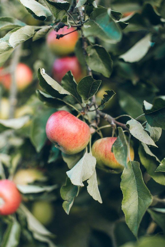 1. Autumn Harvest Punch - Ingredients:2 apples2 pears1 lemon6 cups of apple cider3 cups of vodka¼ cup of fresh lemon juice4 cinnamon sticksCloves/anise for garnish