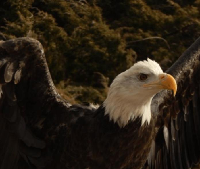 Bald eagle at Shepaug Eagle Observation Area.  Photo courtesy of the author