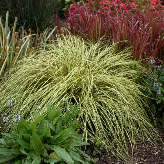 Evergold Carex
