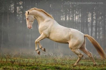yellow Akhal-Teke horse breed start to run