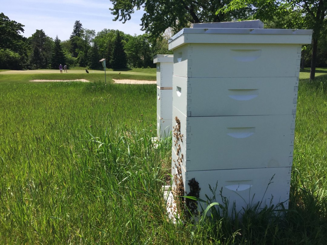 An increasingly common site, honeybee colonies on golf courses (Photo: Anderson).