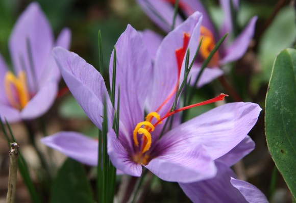 Saffron Crocus Sativus - 15 Bulbs — Pacific Royal