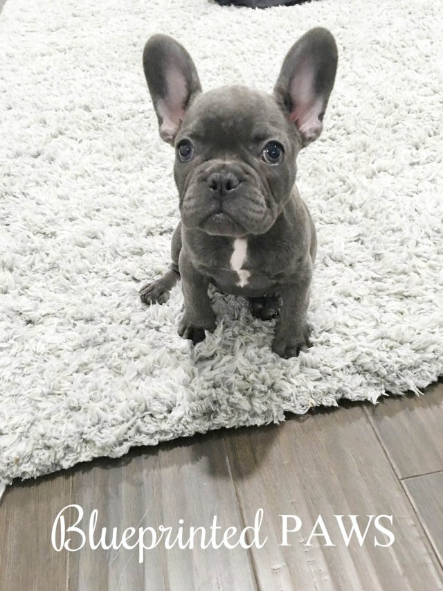 home — blueprinted paws houston texas blue frenchies french