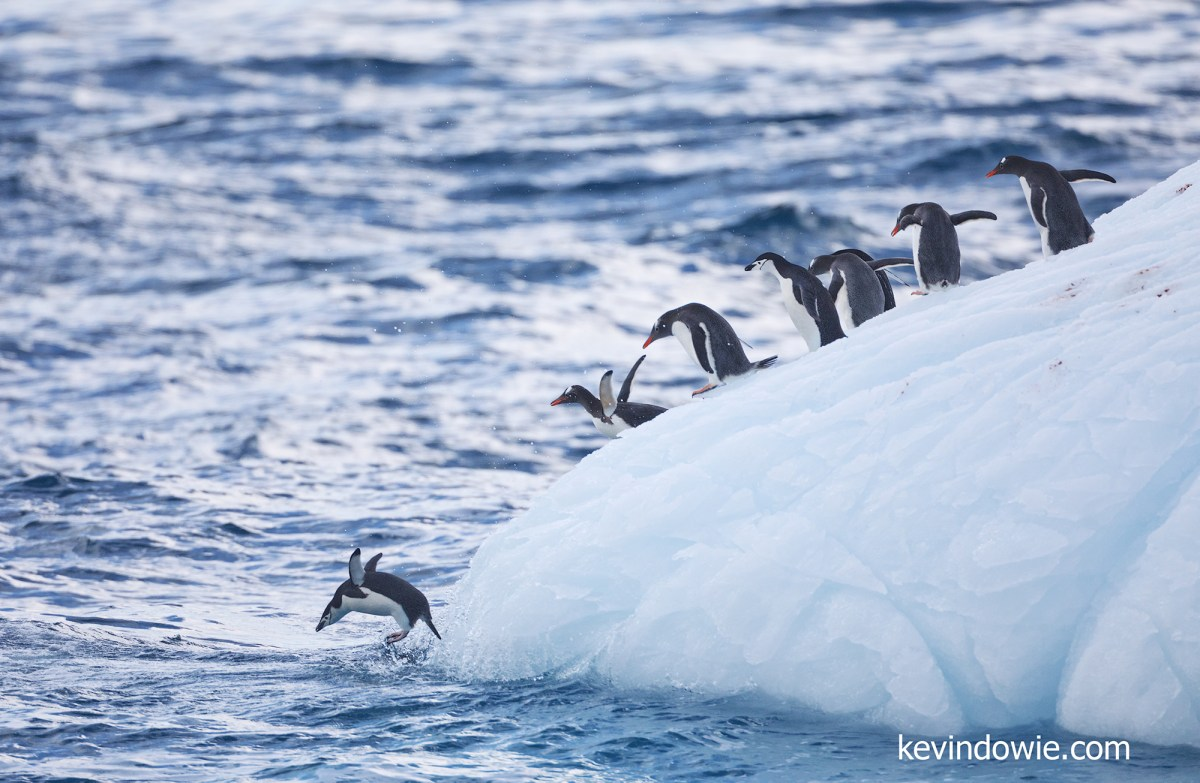 Chinstrap and Gentoo penguins take to the water.
