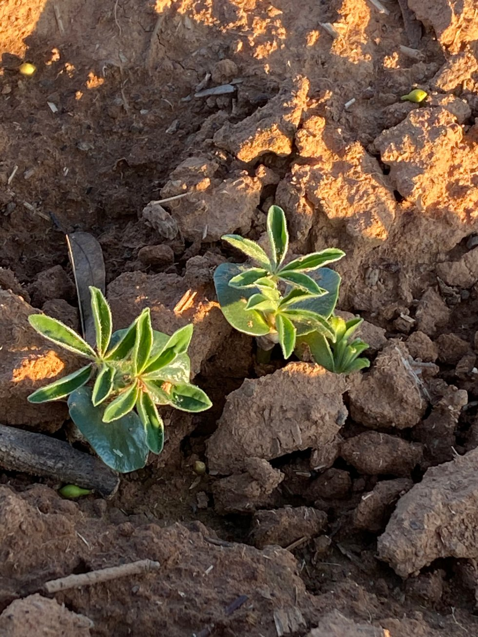 7 June 2020 - Lupins ready for their close up!