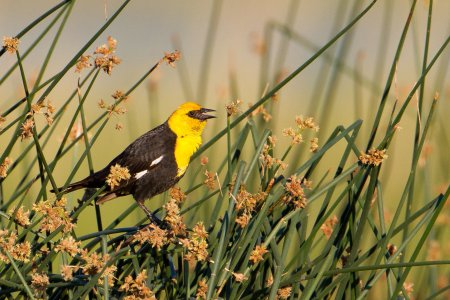 Yellow-headed Blackbird — Eastside Audubon Society