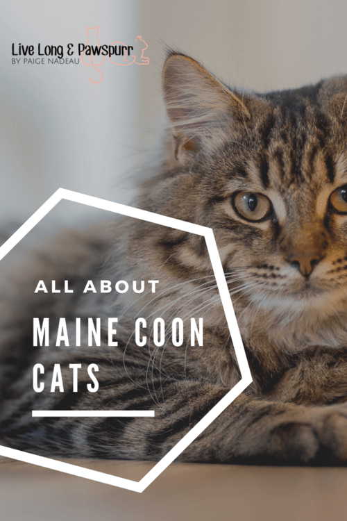 "All About Maine Coon Cats"" class="