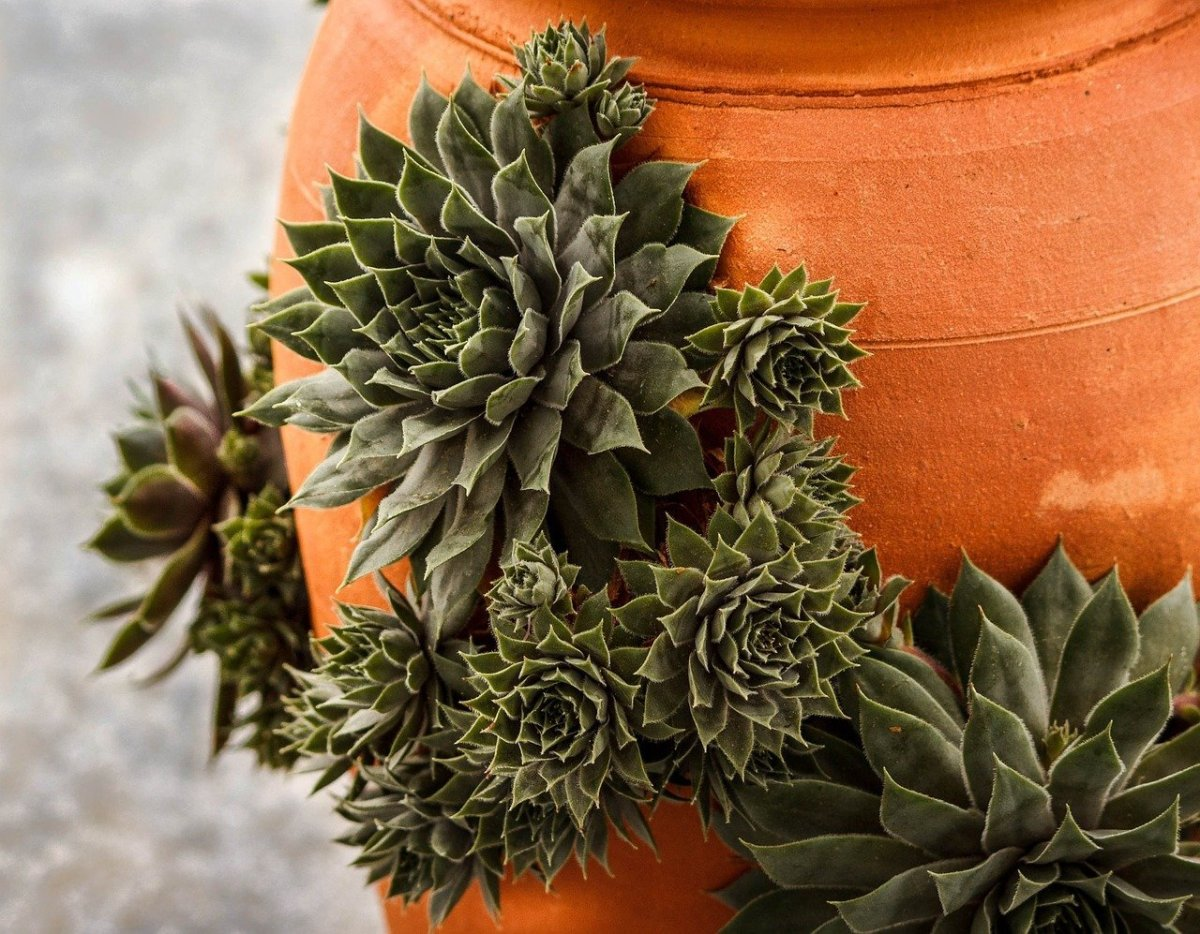 Photo of Hens and Chicks succulents taking advantage of every opening to grow in the sides of a terracotta pot by JamesDeMers from Pixabay