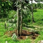 Bamboo Rhizome Propagation Guadua Bamboo