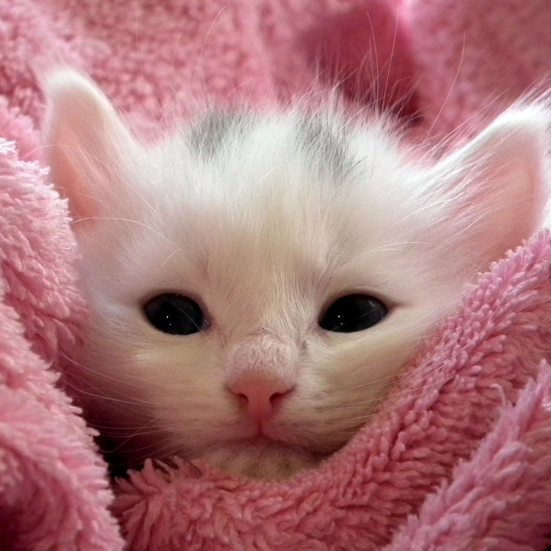 Cute cat under pink blanket WhatsApp Dp Image full HD free download.