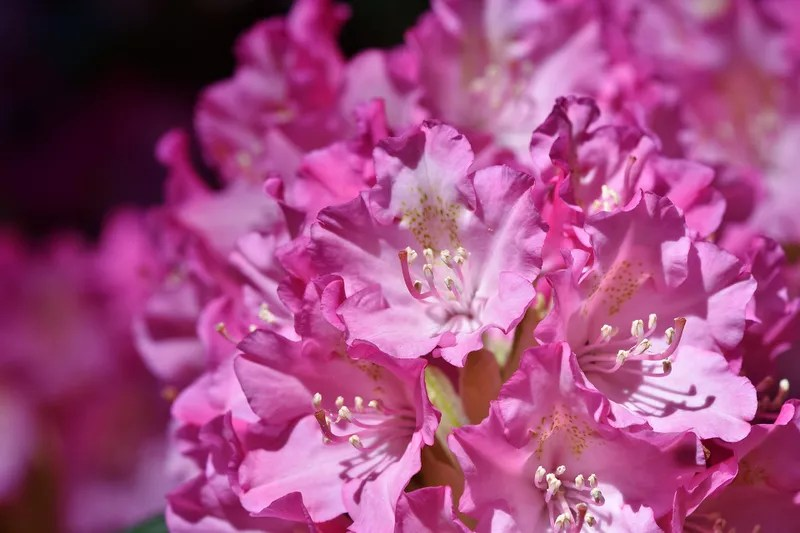 Scotland is a great place to see rhododendrons