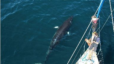 Pods of Minke whale will soon be able to be spotted from above.