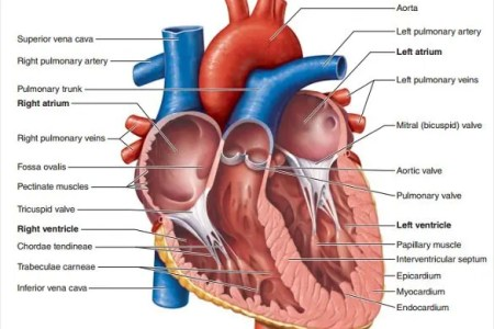 Interior outline of a heart electronic wallpaper electronic is an excellent human heart diagram which uses different colors to show different parts and heart diagram templates sample example format download inner ccuart Choice Image