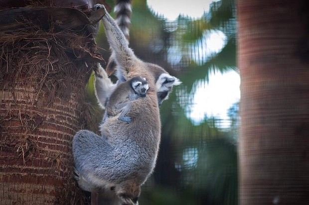 Lily and Indray, resident ring tailed Lemurs are the proud parents of one week old twins born at the National Zoo and Aquarium.